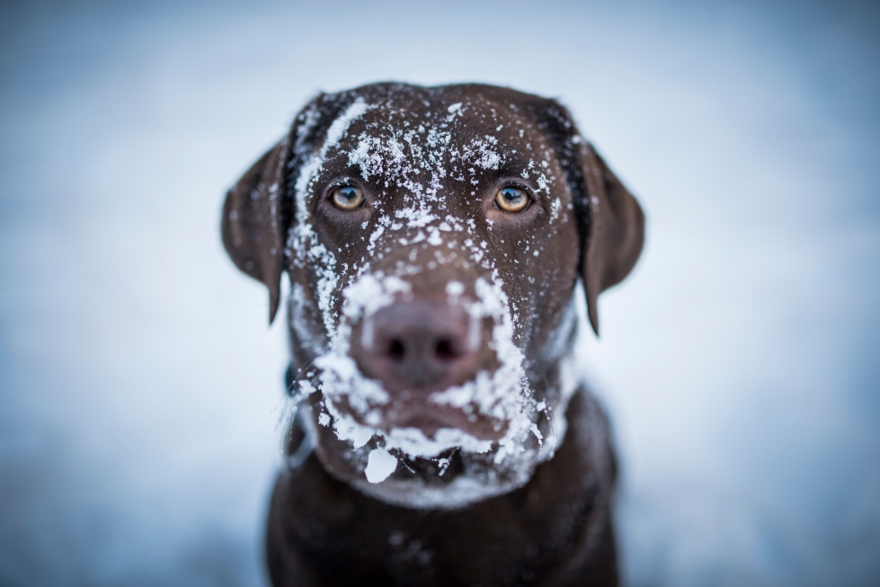 Brown Labrador Retriever, snow in her face.